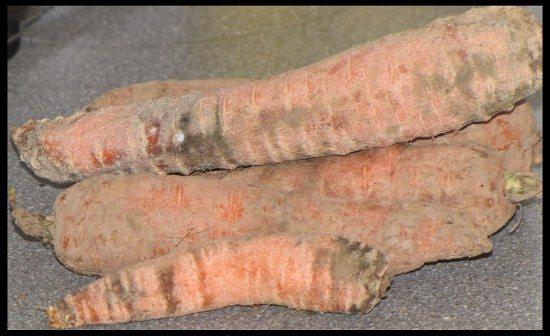 Mangy Carrots