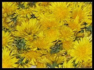 Dandelions, with no stem, washed and ready