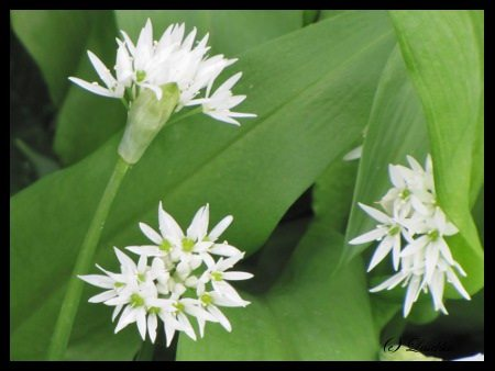 Ramson flowers & leaves