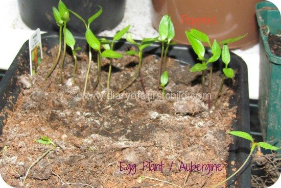 Peppers and Aubergines